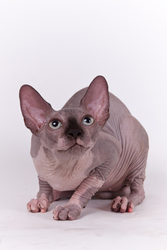 Сфинкс котята из питомника