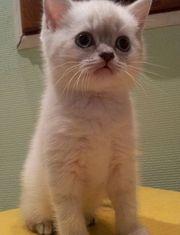 продаю шотландских и британских котят