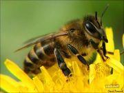 Пчеломатки и пчелопакеты Карпатской породы и Карника F1